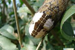 Acherontia-atropos-18