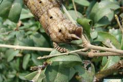Acherontia-atropos-20
