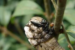 Acherontia-atropos-23