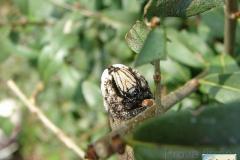 Acherontia-atropos-26