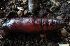 Acherontia-atropos-29