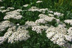 Achillea-millefolium-0