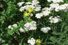 Achillea-millefolium-1