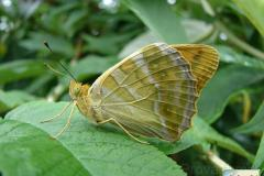 Argynnis-paphia-1