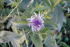 Centaurea-triumfetti