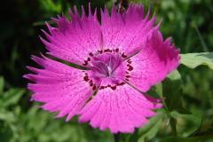 Dianthus-carthusianorum-0