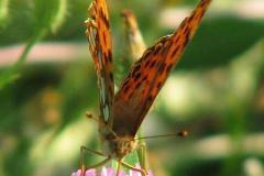 Issoria-lathonia-19