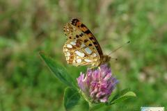 Issoria-lathonia-8