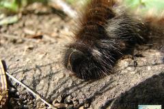Macrothylacia-rubii-4