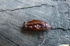 Mamestra-brassicae-0