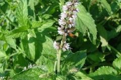 Mentha-longifolia-0