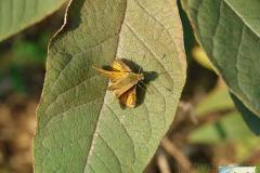 Ochlodes-sylvanus-0