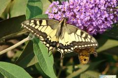 Papilio-machaon-10