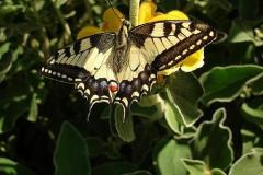 Papilio-machaon-12