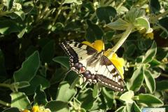 Papilio-machaon-13