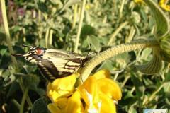 Papilio-machaon-14