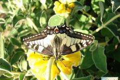 Papilio-machaon-16