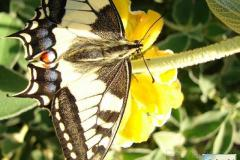 Papilio-machaon-17