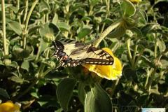 Papilio-machaon-18
